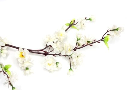 cherry branch: Spring cherry blossom on the white background