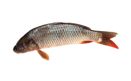 Big carp isolated on white background  Stock Photo - 9333223
