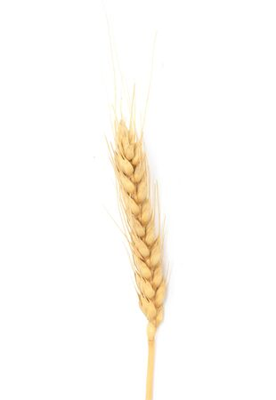 crop  stalks: Dried Ear of Cereal crop in studio isolated against white background.