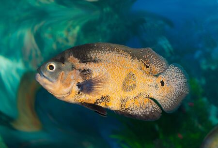 balistoides conspicillum: Spotty greater triggerfish floats in an aquarium  Stock Photo