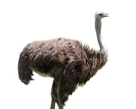 ostrich on white background