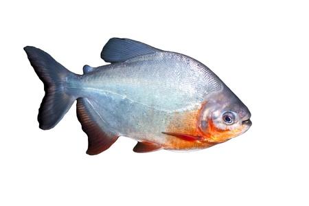 Piranha рыбы