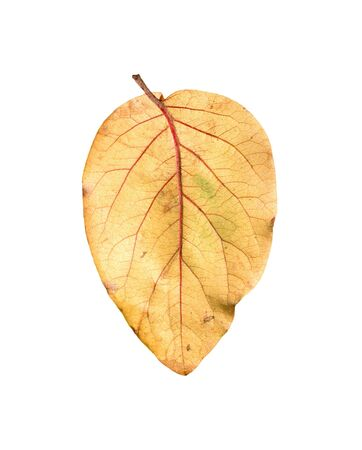 Yellow autumn leaves on a white background  photo