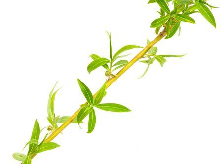 willow on white