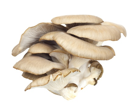 wood agricultural: Oyster mushrooms on a white background  Stock Photo