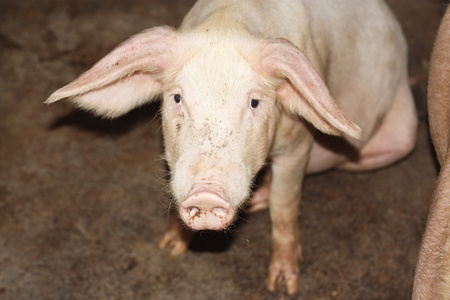 close up of little pig in a farm in China Stock Photo - 10090542
