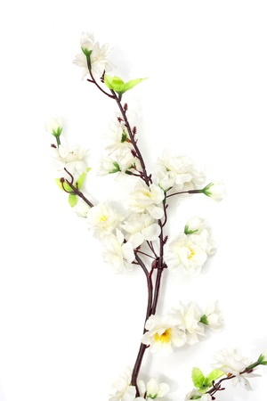 Spring cherry blossom on the white background  photo