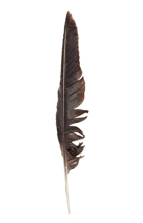 crow feather on a white background Stock Photo