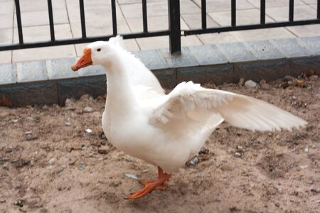 A white goose spreading its wings.