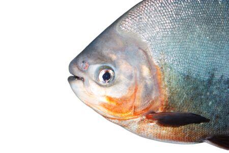 piranha portrait photo