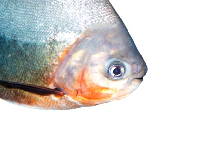 pirana: piranha portrait Stock Photo