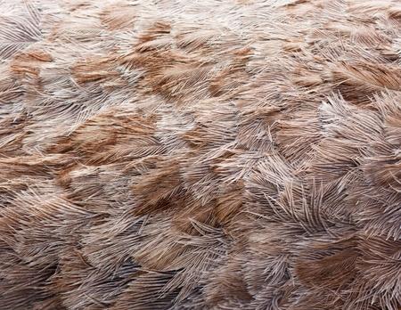 ostrich: Ave de plumas de avestruz marrón textura de fondo