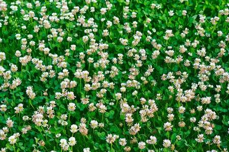 White clover (Trifolium repens) Stock Photo - 10308158
