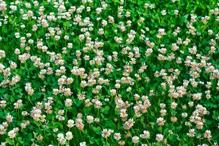 White clover (Trifolium repens)  photo