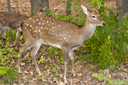 child of the red deer in wood . Bandhavgarh. India.  Stock Photo