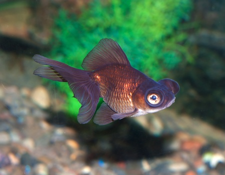 fish with greater eye Stock Photo - 10307815