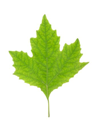 Green Maple Leaf isolated photo