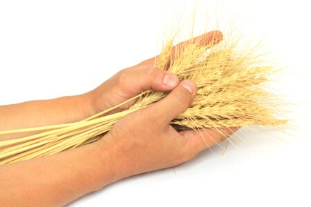 wheat in the hands of photo