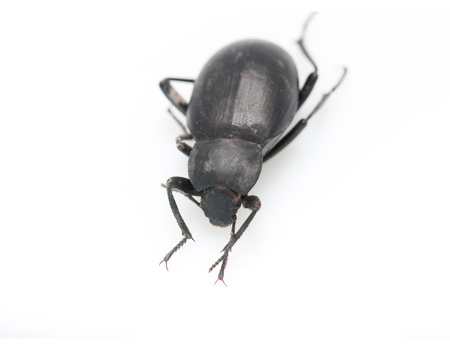 carabid: ground beetle  Stock Photo