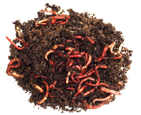lombriz: gusanos rojos en el compost - cebo para la pesca Foto de archivo