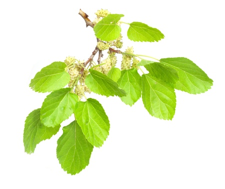 mulberry isolated on white background  Stock Photo
