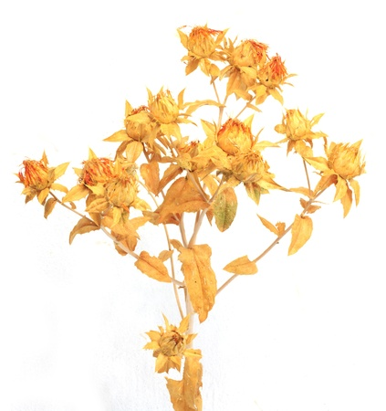 herbalism: Dried safflower on a white background