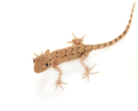 brown spotted gecko reptile isolated on white, view from above  photo