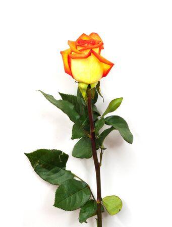 black backgound: Single orange rose; isolated on white background