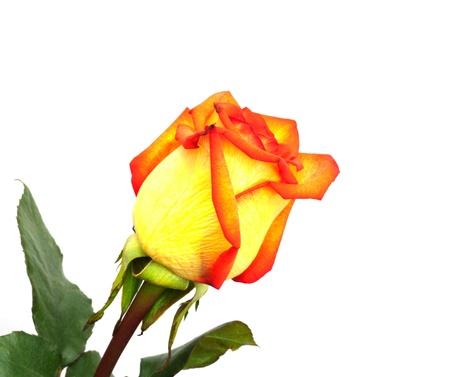 Single orange rose; isolated on white background  photo