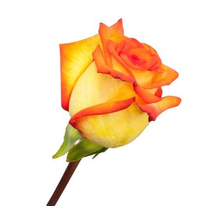Fresh orange roses on a white background
