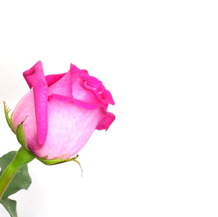 pink roses on a white background with space for text