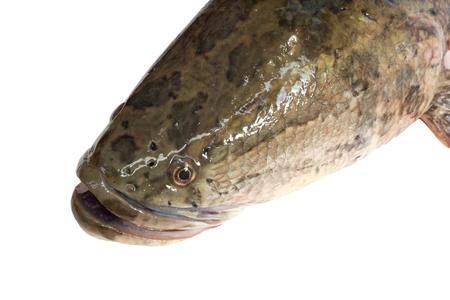 ferocious: snakehead is a ferocious fish isolated on white