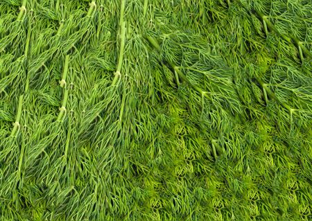Bunch of ripe green dill . background photo