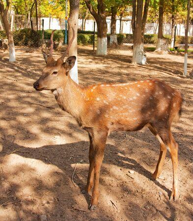 springbuck: antelope  Stock Photo