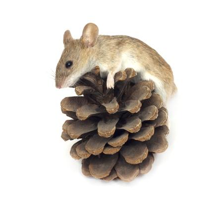 mouse and cedar photo