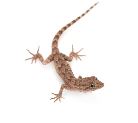 brown spotted gecko reptile isolated on white, view from above  Stock Photo - 11500164