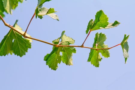 GRAPE branch from a blue sky background photo