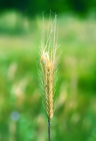 an ear of wheat on a green background photo