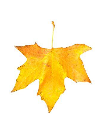 beautiful autumn maple leaf isolated on white background  photo