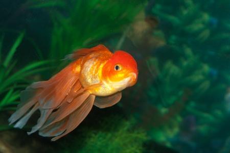 oranda: Gold oranda goldfish in an aquarium