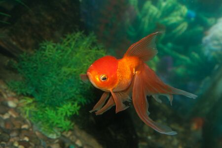 Gold oranda goldfish in an aquarium  photo