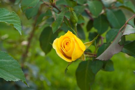 Close up of a yellow rose in a garden  photo