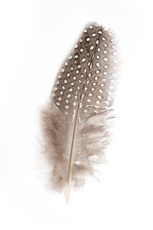 black feather: guinea fowl feather on white background