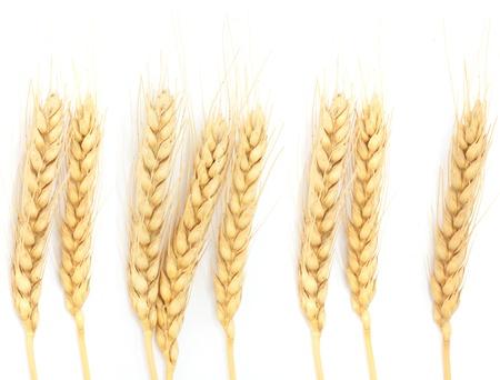 cosecha de trigo: Espigas de trigo aislado en blanco