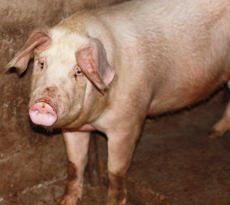 grunter: close up of little pig in a farm in China  Stock Photo