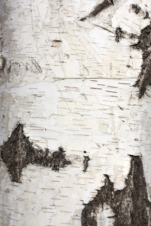 Texture of birch bark, background photo
