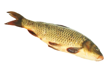 carp on a white background Stock Photo - 12086205