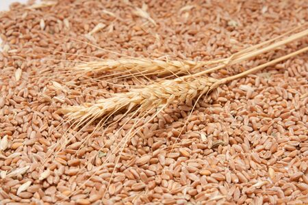three spikelets of wheat against the grain of wheat Stock Photo - 12105853