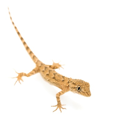 brown spotted gecko reptile isolated on white  photo