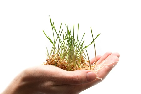 wheat seedling on the hand  Stock Photo - 13049176